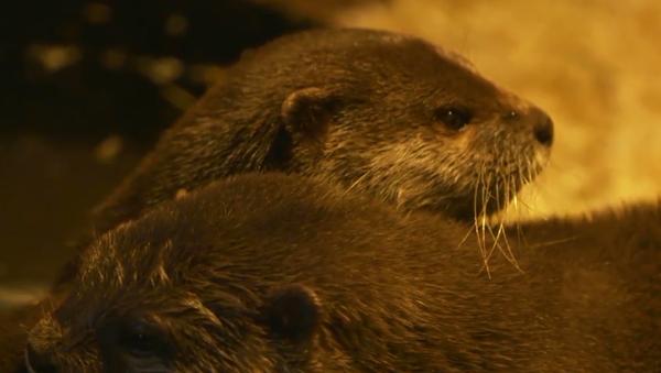 Zakochane wydry - Sputnik Polska