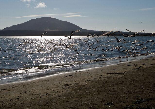 Mewy na brzegu Zatoki Kurylskiej na wyspie Kunaszyr