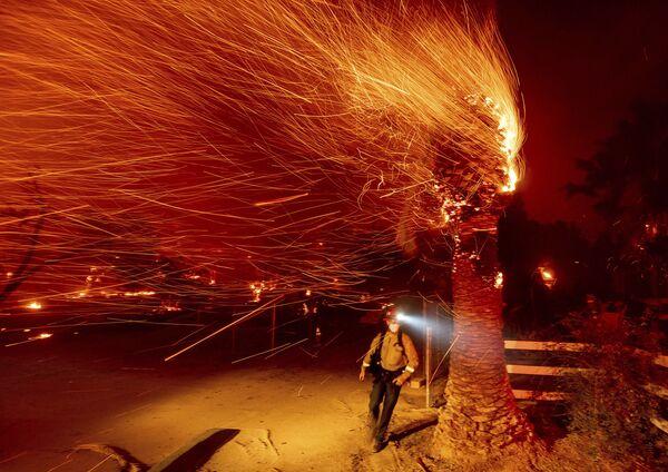 Strażak przechodzi obok płonącego drzewa, gasząc pożar w Kalifornii - Sputnik Polska