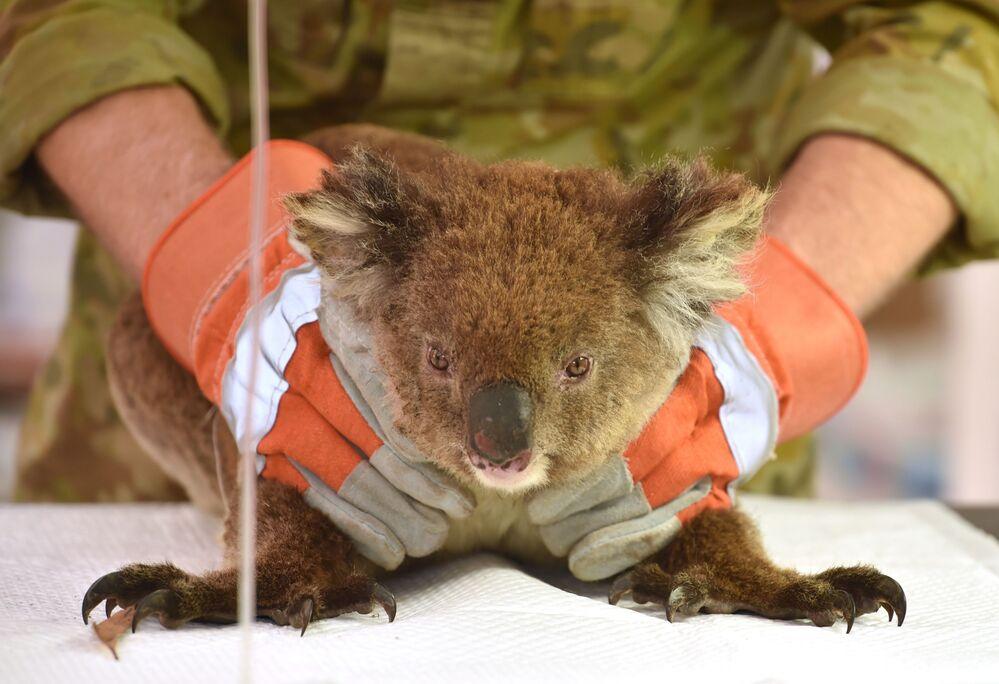 Koala ranny w pożarach w Australii jest leczony w prowizorycznym szpitalu polowym w Kangaroo Island Wildlife Park