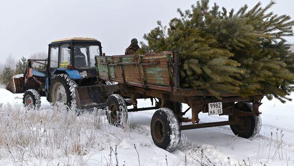 Ścinanie żywych choinek przed Bożym Narodzeniem - Sputnik Polska