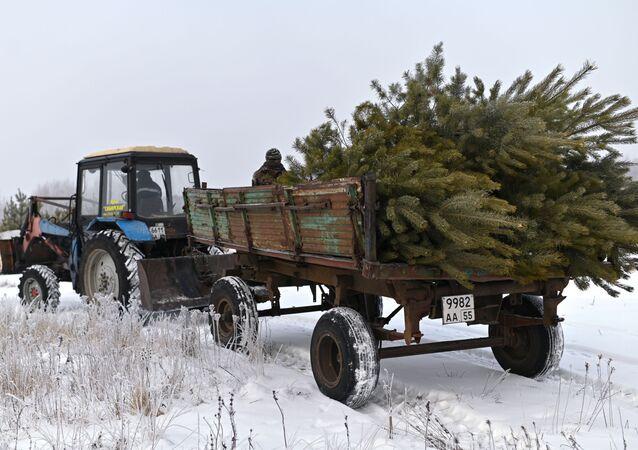 Ścinanie żywych choinek przed Bożym Narodzeniem