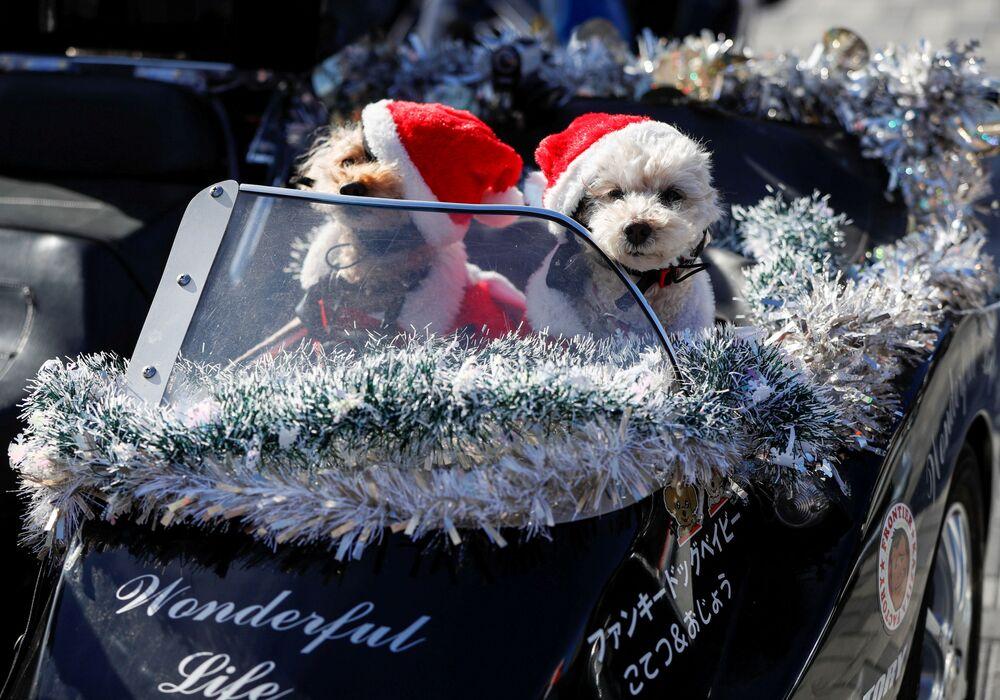 Psy w kostiumach Świętego Mikołaja siedzą na siedzeniu pasażera motocykla Harley Davidson podczas bożonarodzeniowej parady w Tokio