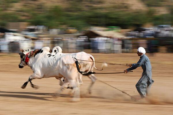 Tradycyjny bieg byków w Pakistanie  - Sputnik Polska