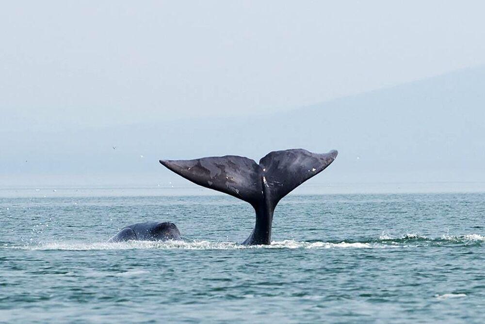Wal grenlandzki w Morzu Ochockim
