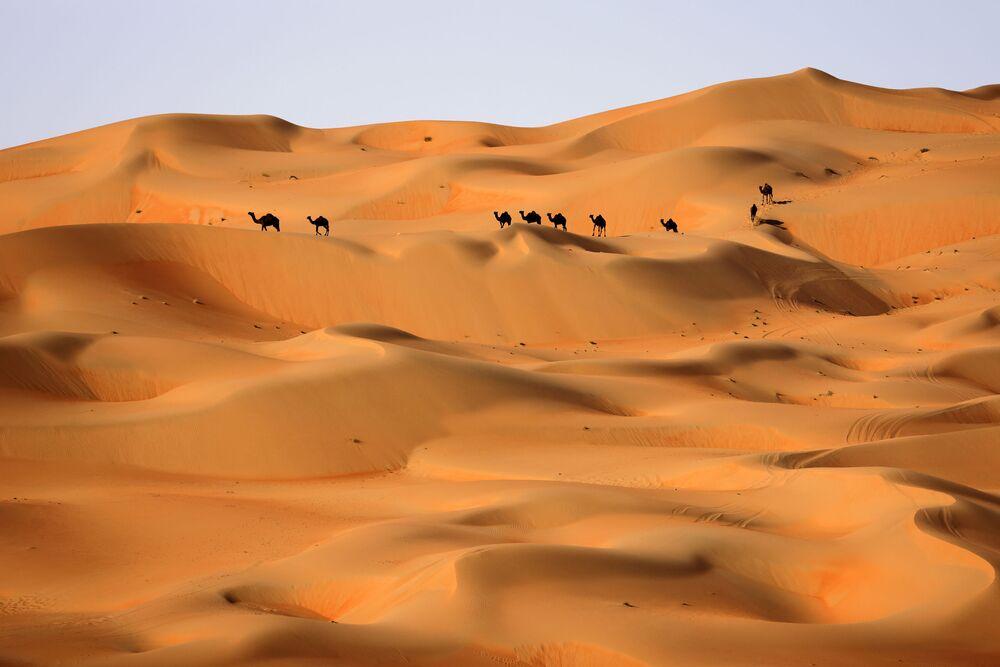 Arabowie prowadzą wielbłądy przez wydmy pustyni Liwa w Zjednoczonych Emiratach Arabskich