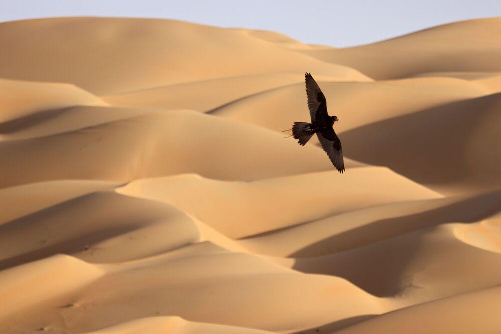 Sokół szuka ofiary, lecąc nad pustynią Liwa