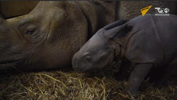 Polskie zoo wita pierwszego od 155 lat małego nosorożca  - Sputnik Polska