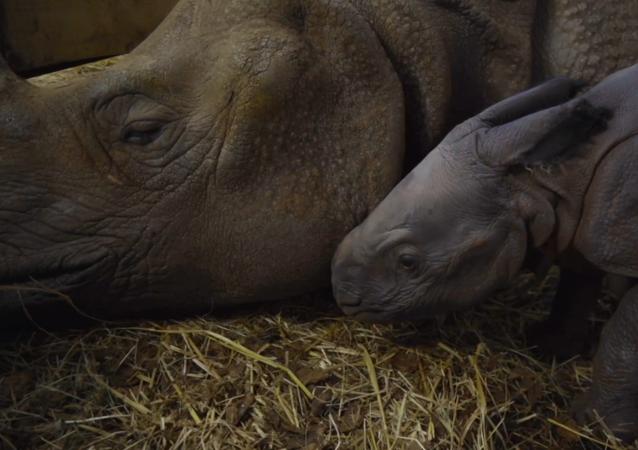 Polskie zoo wita pierwszego od 155 lat małego nosorożca