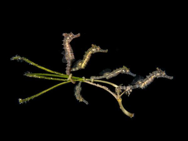 """""""5 Baby Seahorses"""", autor: PT Hirschfield - Sputnik Polska"""