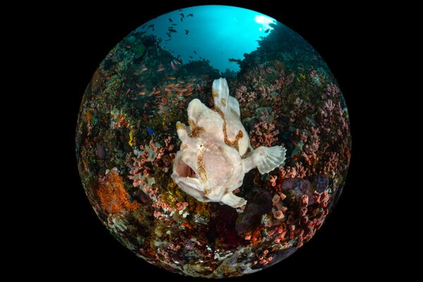 """Giant Frogfish"", autor: Enrico Somogyi - Sputnik Polska"