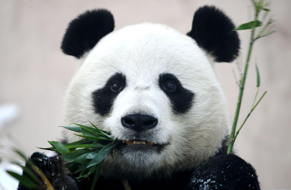 Panda w moskiewskim zoo