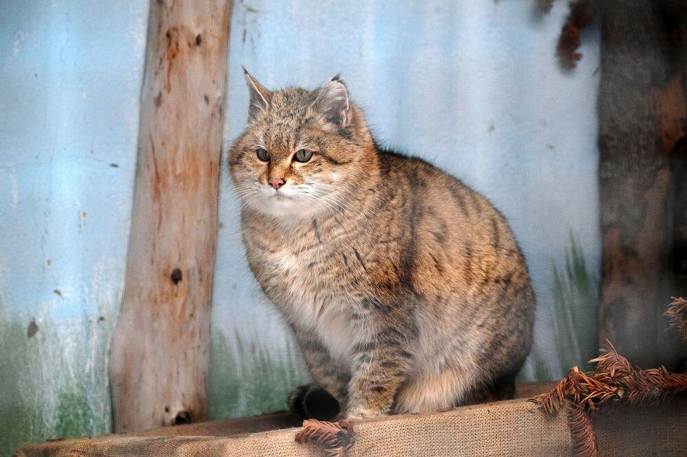 Kot nubijski w moskiewskim zoo