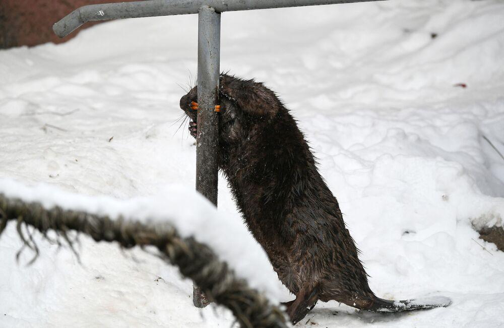 Bóbr europejski w moskiewskim zoo