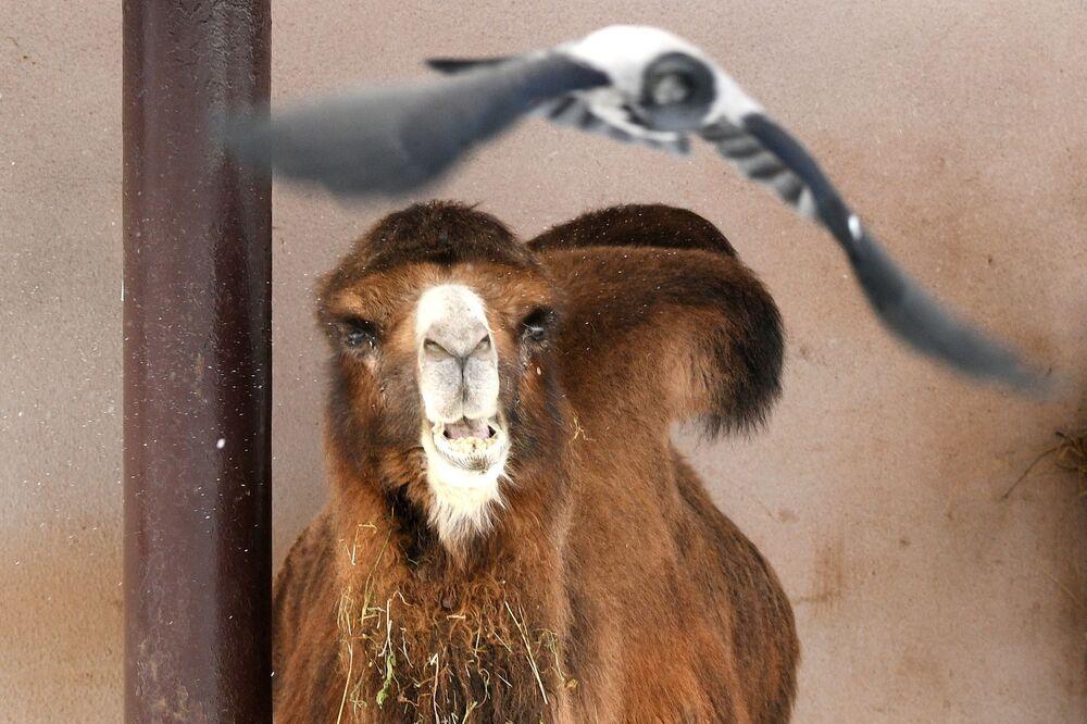 Wielbłąd dwugarbny w moskiewskim zoo
