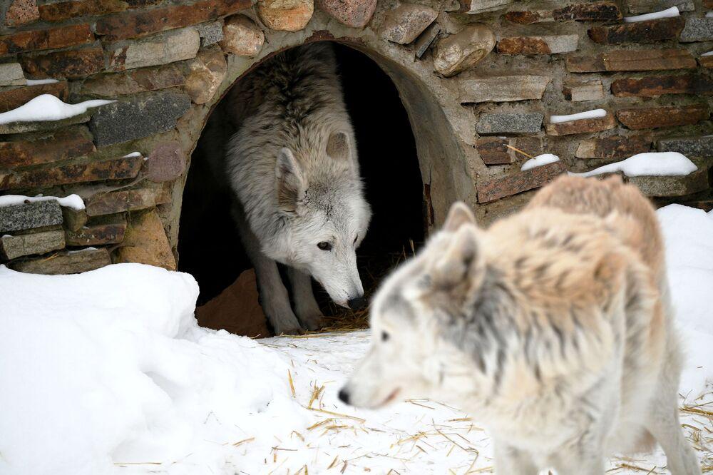 Wilki polarne w moskiewskim zoo
