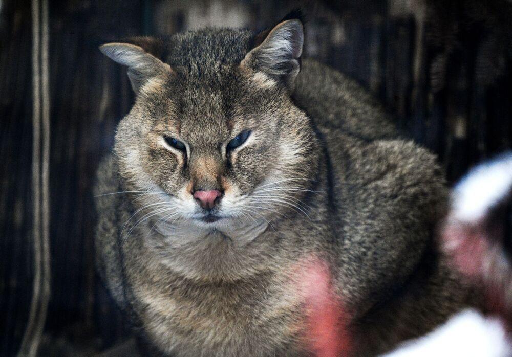 Kot błotny w moskiewskim zoo