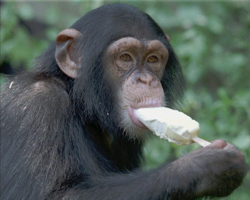 Szympans je lody w zoo