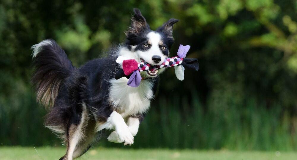 Border Collie z zabawką w zębach