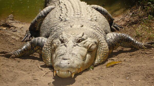 Krokodyl różańcowy Crocodylus porosus - Sputnik Polska