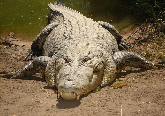 Krokodyl różańcowy Crocodylus porosus