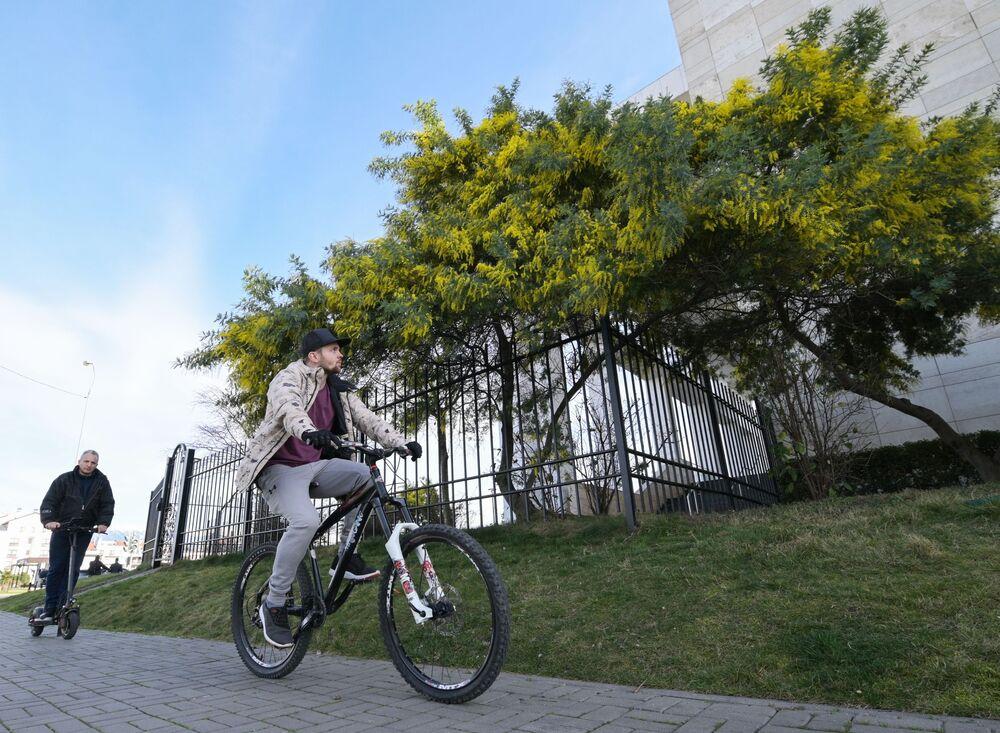 Wczesne kwitnienie mimozy w Soczi