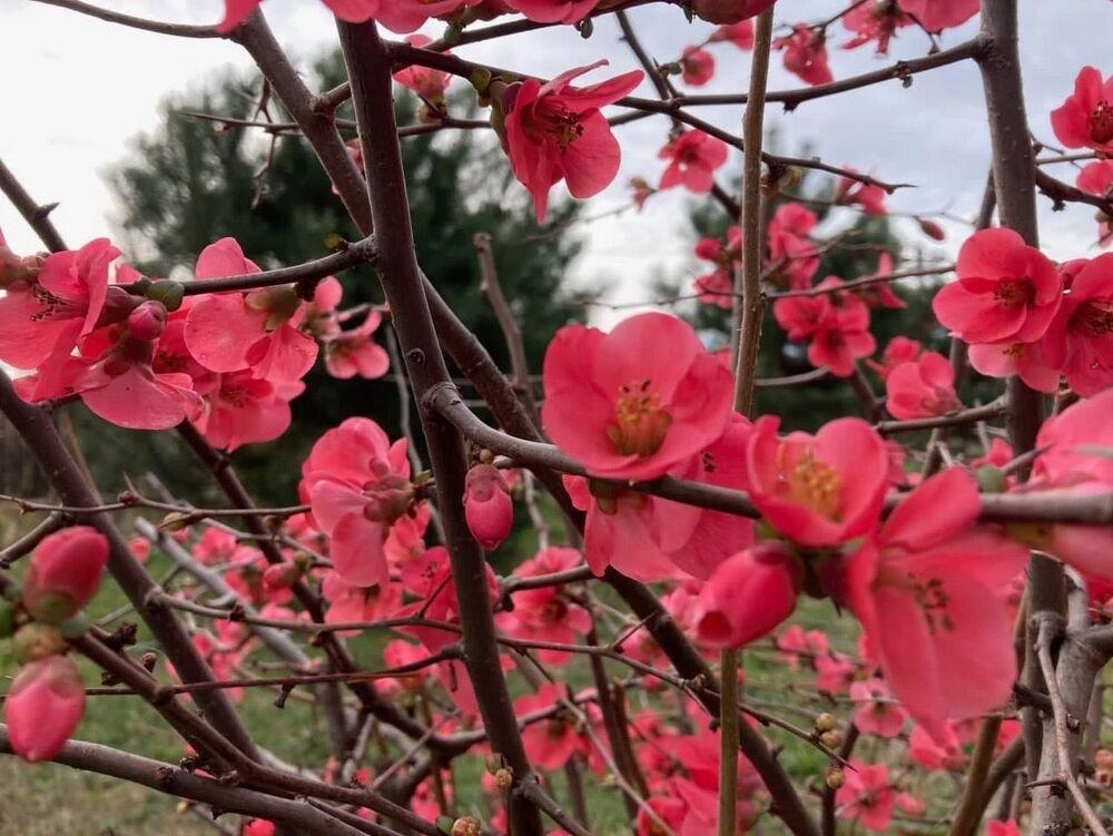 Wczesne kwitnienie magnolii w Soczi
