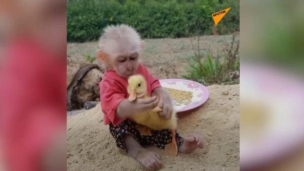 Małpa i kaczka - Sputnik Polska