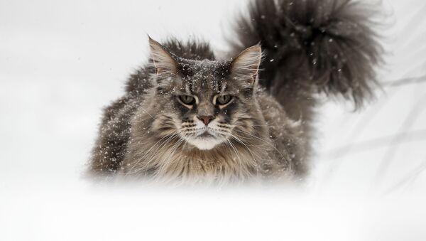 Kot rasy Maine Coon w ogrodzie w niemieckim Gelsenkirchen - Sputnik Polska