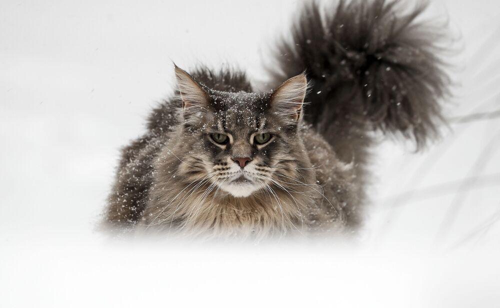 Kot rasy Maine Coon w ogrodzie w niemieckim Gelsenkirchen