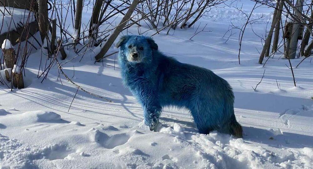 Błękitne psy na terenie przedsiębiorstwa chemicznego w Dzierżyńsku w obwodzie niżnonowogrodzkim