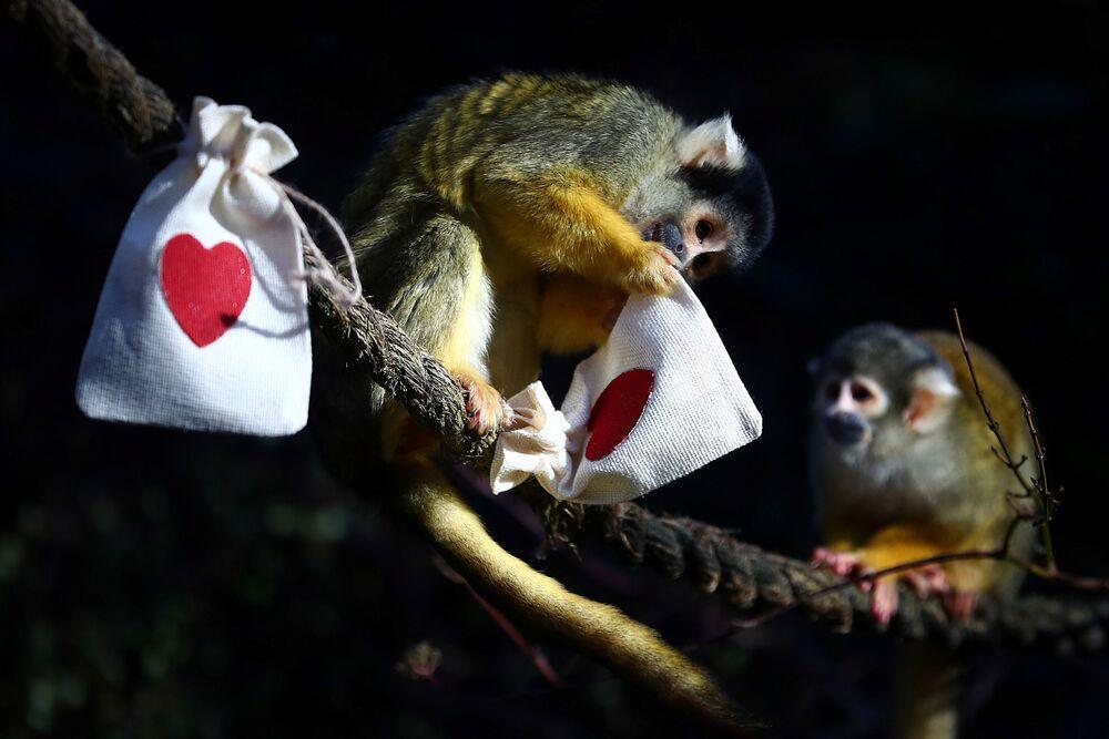 W londyńskim zoo również małpki świętują Walentynki