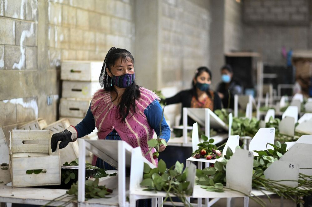 Kobiety pakują róże na sprzedaż w Gwatemali