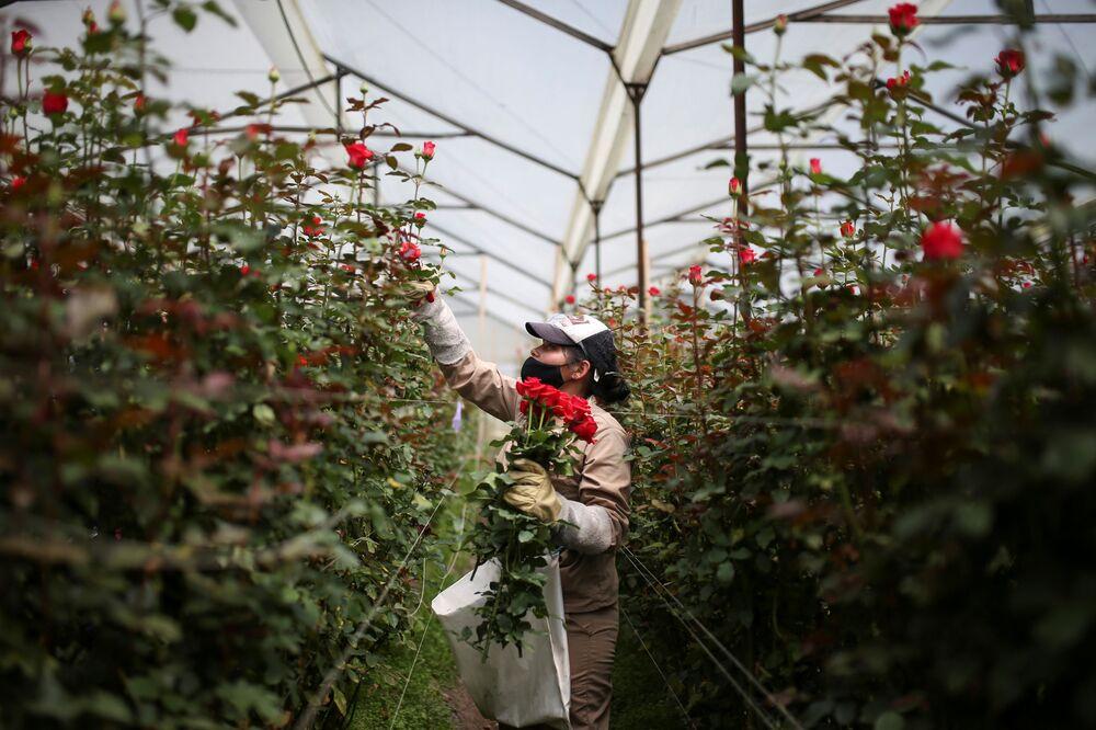 Zbiór róż przed Walentynkami