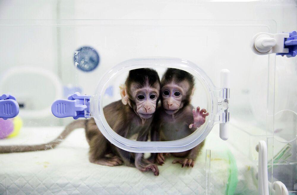Sklonowane w 2018 roku w Chinach małpki