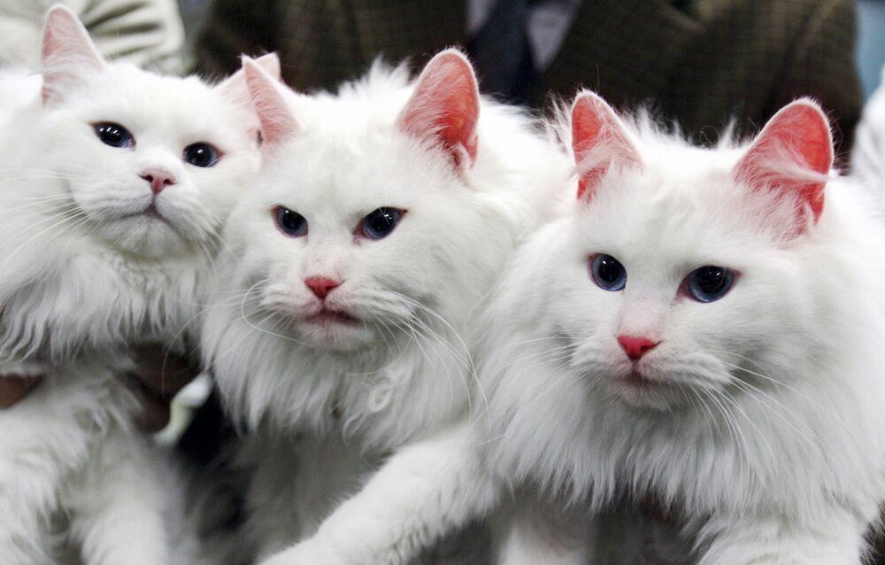 Dwa sklonowane koty (po prawej i w centrum) w Korei Południowej