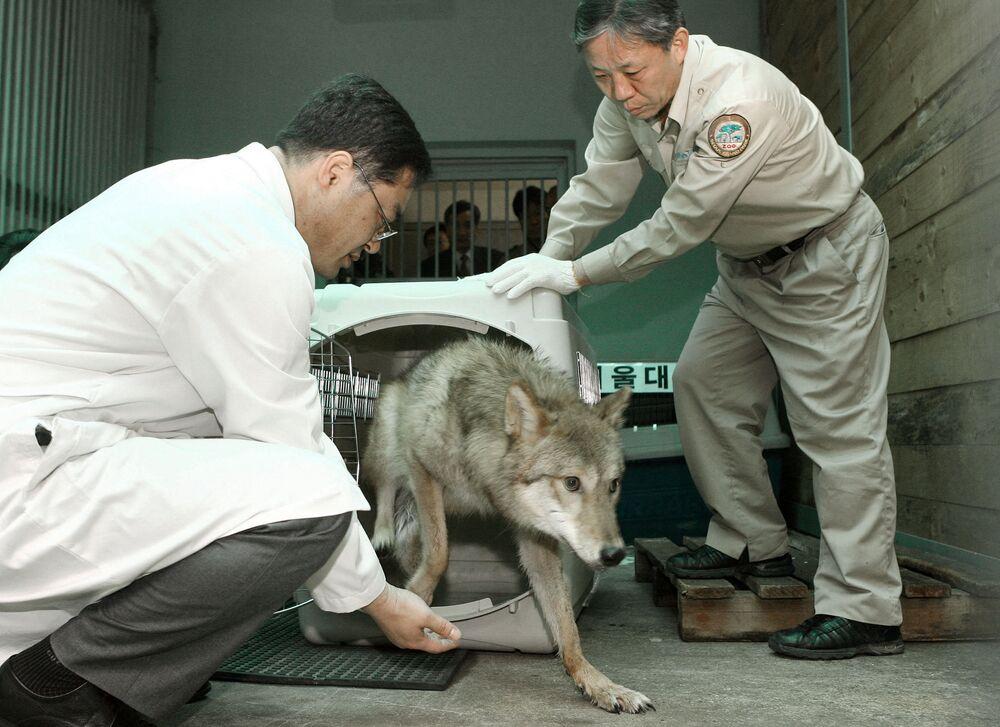 Sklonowany wilk w Seulu