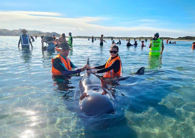 Pracownicy Departamentu Ochrony Środowiska Nowej Zelandii ratują wieloryby wyrzucone na brzeg w Golden Bay