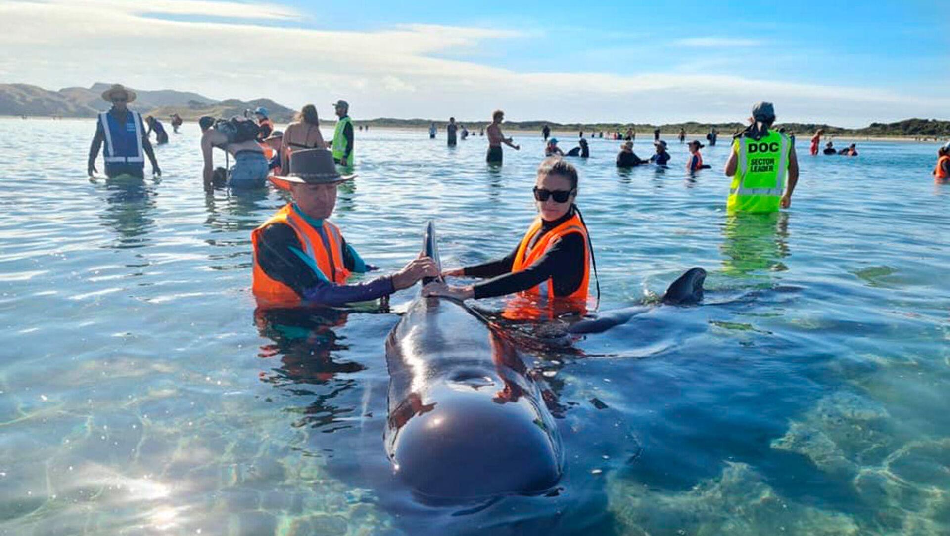 Pracownicy Departamentu Ochrony Środowiska Nowej Zelandii ratują wieloryby wyrzucone na brzeg w Golden Bay - Sputnik Polska, 1920, 22.02.2021