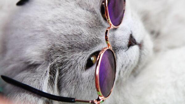 Kot brytyjski na wystawie kotów w Moskwie - Sputnik Polska