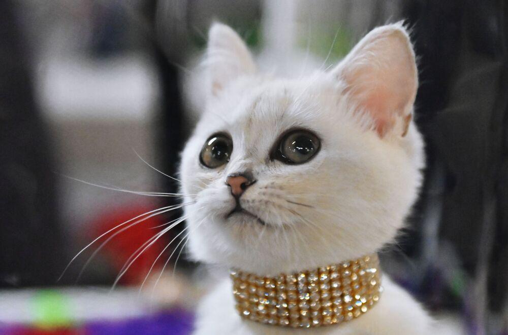 Brytyjski kotek na wystawie w Moskwie