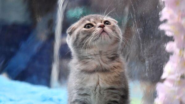 Szkocki kot zwisłouchy na wystawie w Moskwie - Sputnik Polska