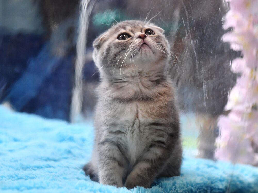 Szkocki kot zwisłouchy na wystawie w Moskwie