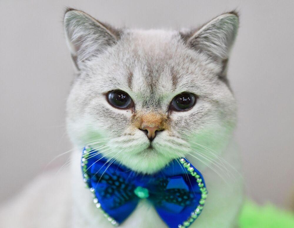 Kot brytyjski na wystawie w Moskwie