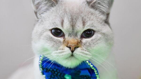 Kot brytyjski na wystawie w Moskwie - Sputnik Polska