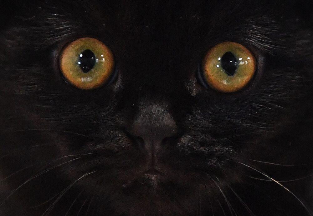 Kot rasy szkocki zwisłouchy na wystawie w Moskwie