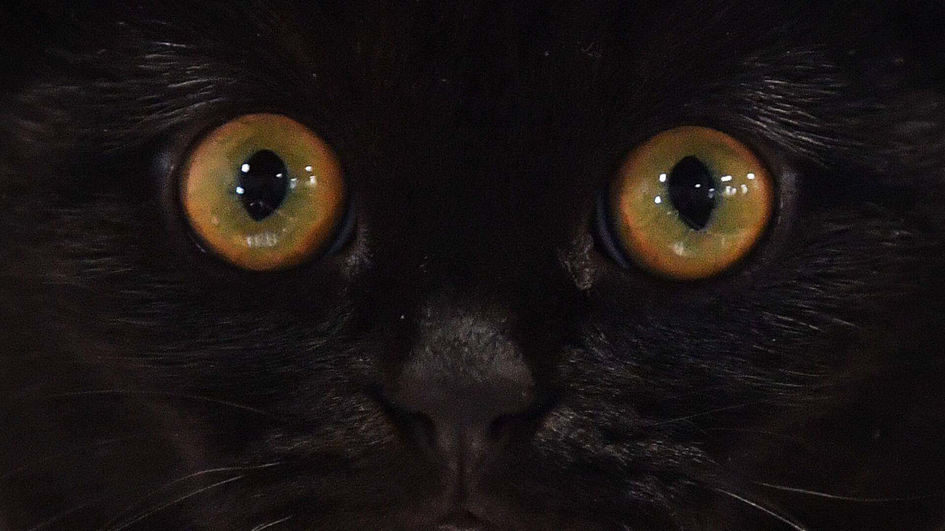 Kot rasy szkocki zwisłouchy na wystawie w Moskwie - Sputnik Polska, 1920, 04.07.2021