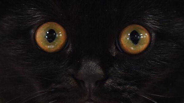 Kot rasy szkocki zwisłouchy na wystawie w Moskwie - Sputnik Polska