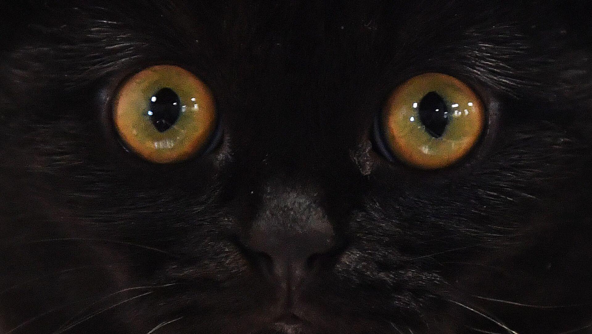 Kot rasy szkocki zwisłouchy na wystawie w Moskwie - Sputnik Polska, 1920, 31.03.2021
