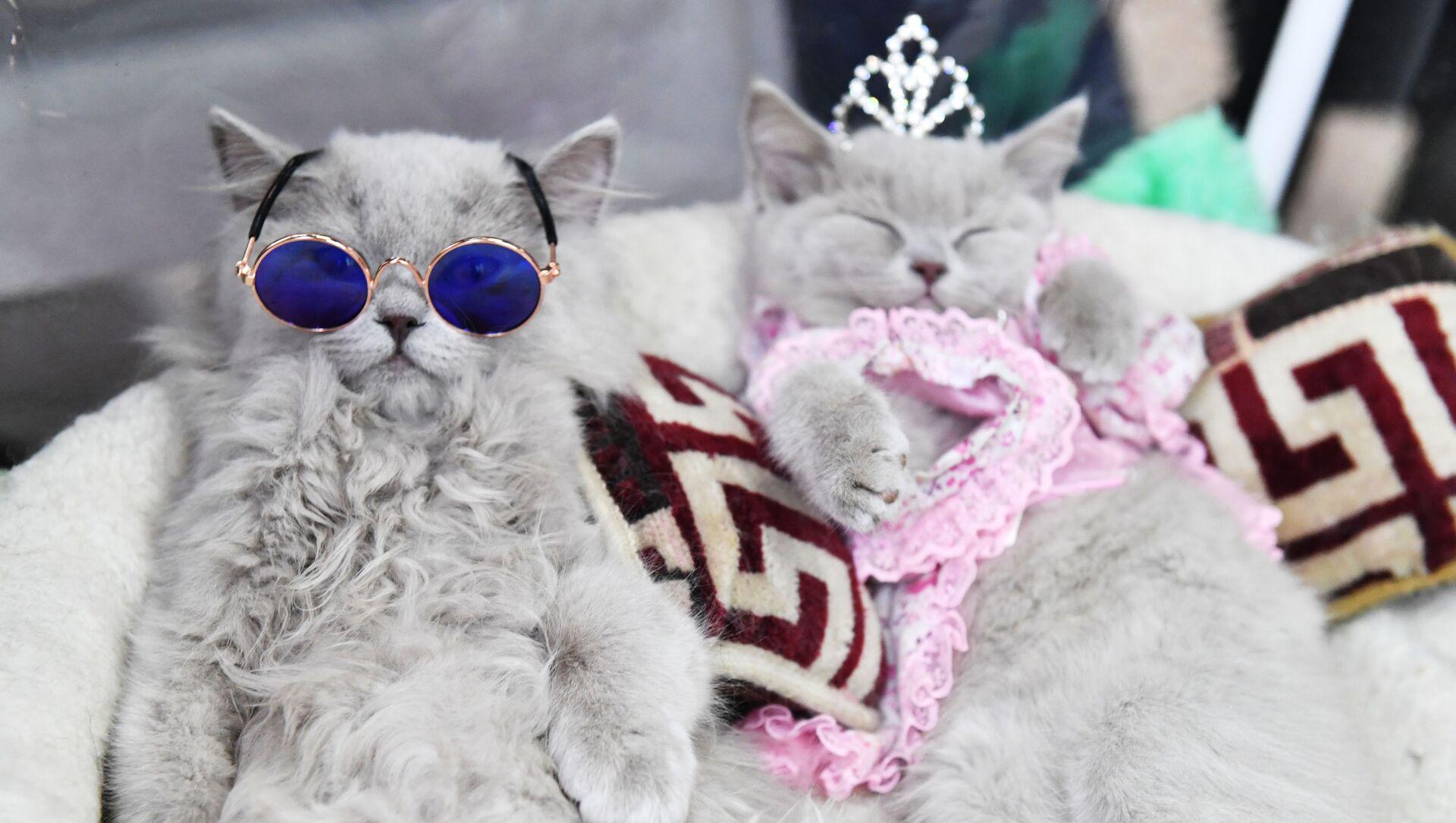 Brytyjskie koty na wystawie w Moskwie  - Sputnik Polska, 1920, 09.03.2021